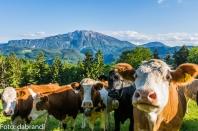 hochbärneck kühe und ötscher