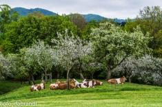 kühe unter blühenden bäumen