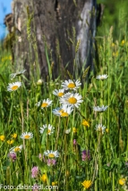 Blumenwiese am Krenberg N71_8870.jpg