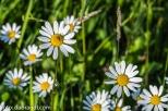 Blumenwiese am Krenberg N71_8868.jpg